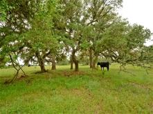 Texas farmland, cattle, stone ruins, old stone houses
